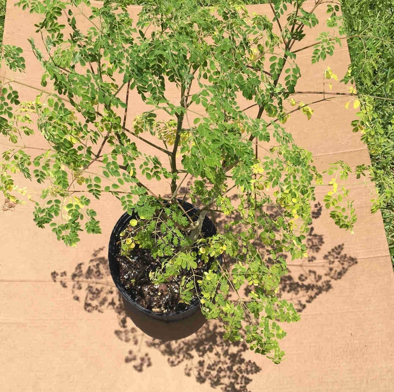 Moringa Tree 2 feet Tall, No Ship to CA, TX, AZ