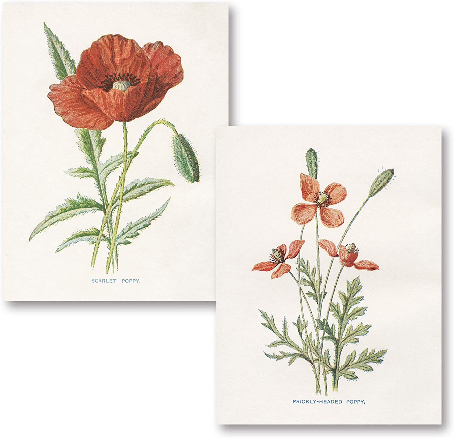 Lovely Old-Fashioned Botanical Scarlet Poppy and Prickly Headed Poppy Set by Gwendolyn Babbitt; Floral Decor; Two 11x14in Poster Prints