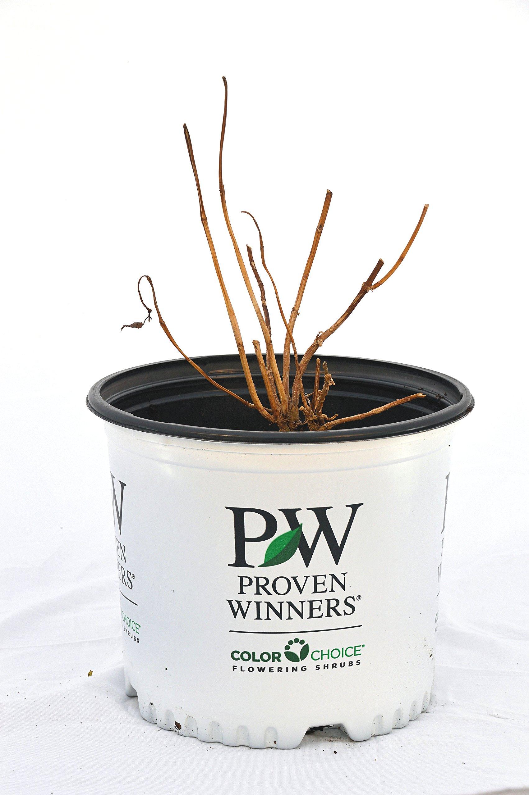 Proven Winners Incrediball Hydrangea - Hydrangea A  Incrediball - 3 Gallon