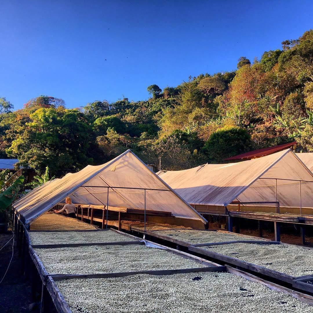 (1 LB) Guatemalan GEISHA Unroasted Green Coffee Beans for Roasting, Specialty Grade Raw Arabica Beans - Single Origin Guatemalan Bodhi Leaf Trading Company