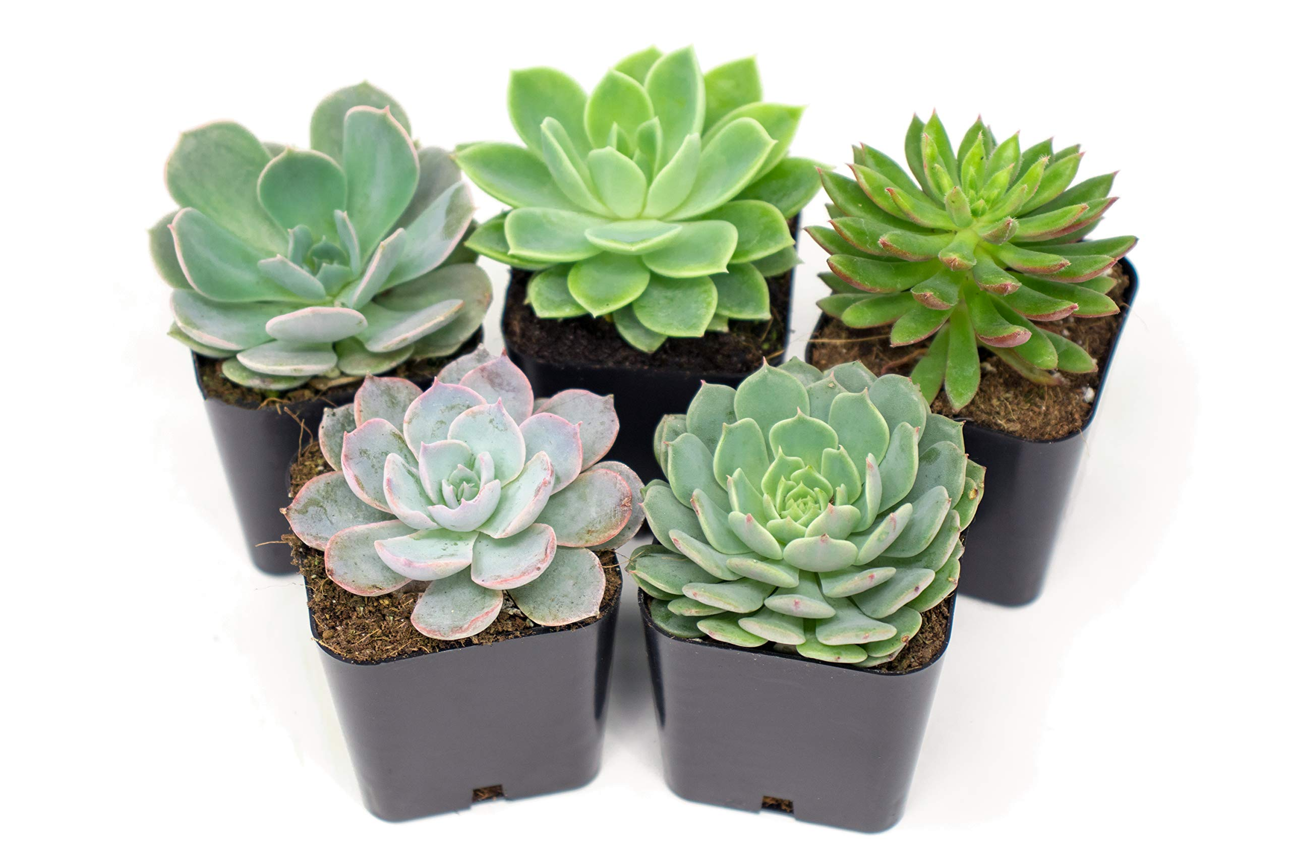 Succulent Plants | 5 Echeveria Succulents | Rooted in Planter Pots with Soil | Real Live Indoor Plants | Gifts or Room Decor by Plants for Pets