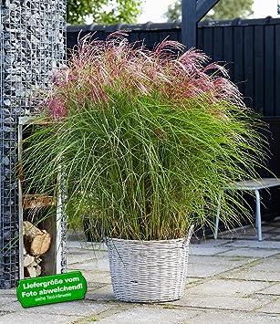 BALDUR-Garten Carex Bronze Reflection Segge winterhart, 3 Pflanzen ...