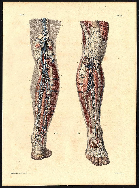 Original Kunstdruck-Anatomie Lymphfächer, Schiff, Tiefe-Bein-Venen ...