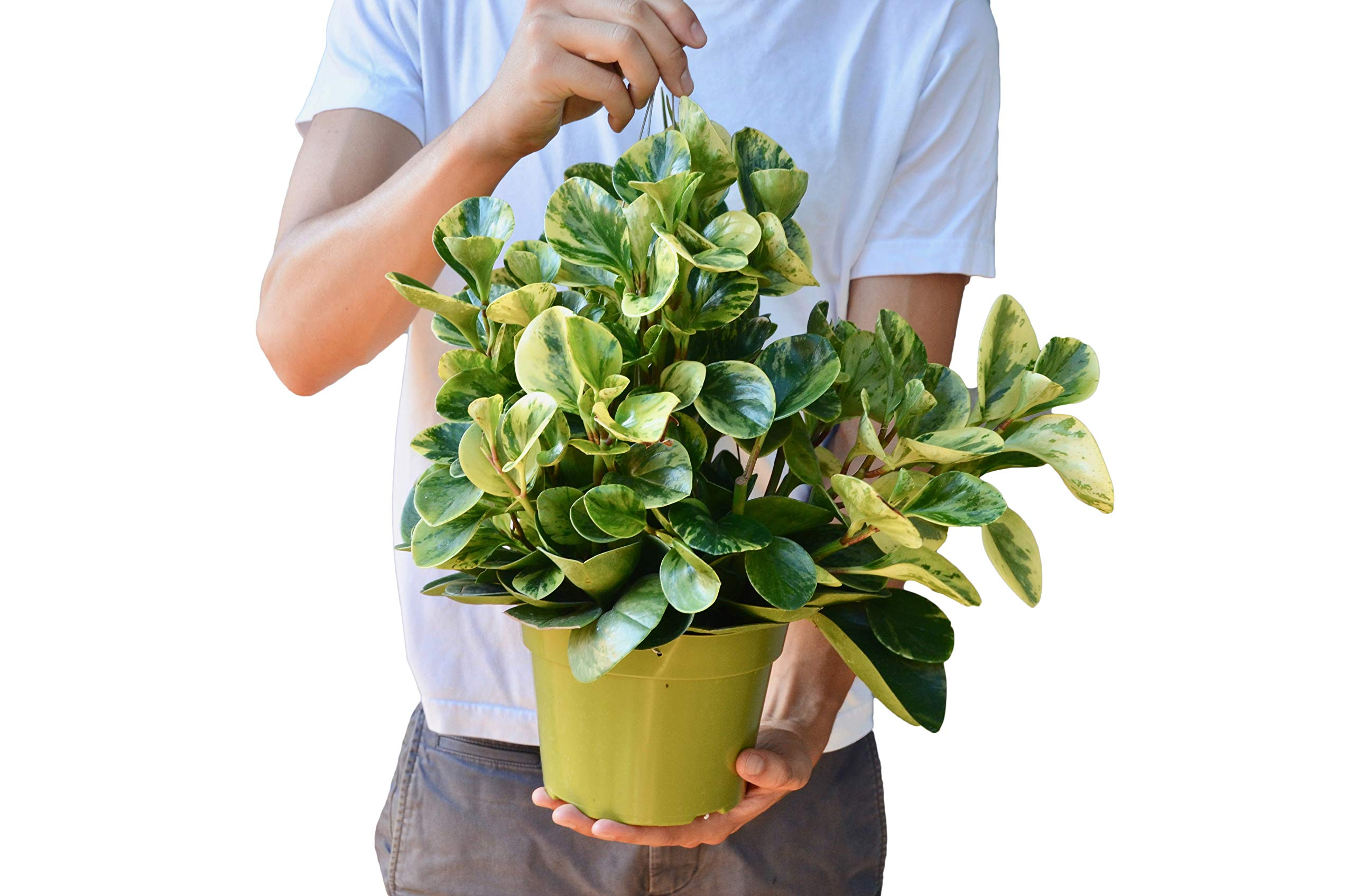 Peperomia 'Marble' in 6'' Pot - Live House Plant - FREE Care Guide by House Plant Shop