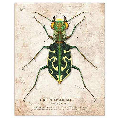 Insect Art ACEO Green Tiger Beetle Archival Print