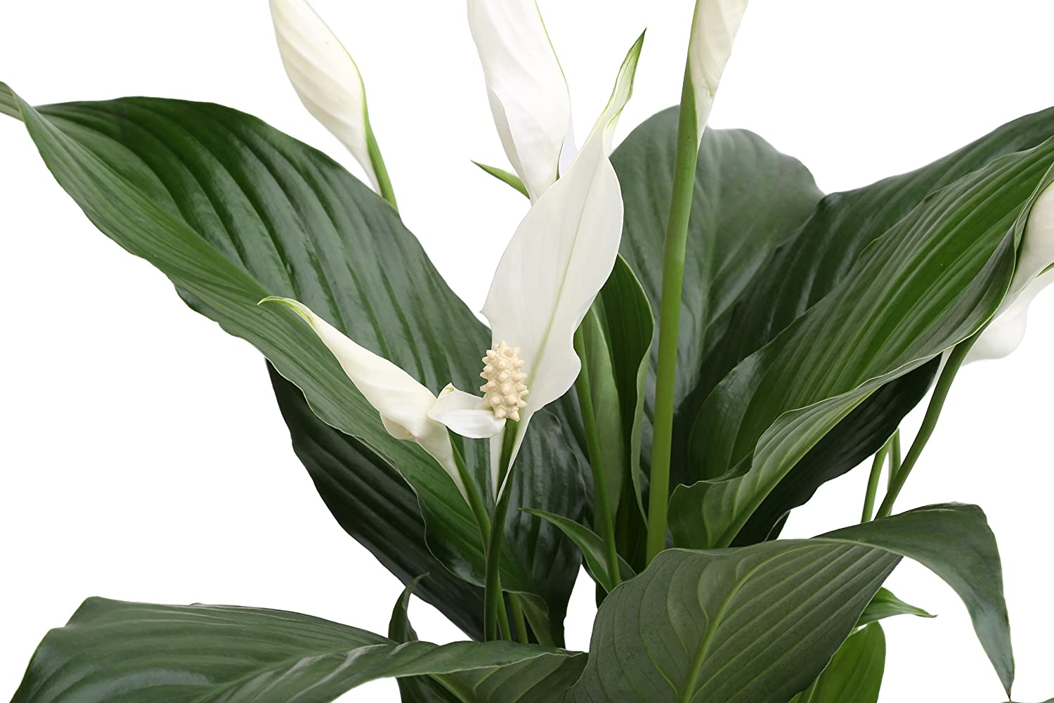 Amazon Costa Farms Premium Live Indoor Peace Lily