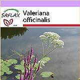 SAFLAX - Valeriana - 200 semillas - Valeriana officinalis