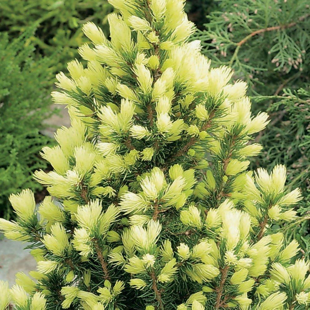 9cm Pots Picea glauca Daisys White Compact Evergreen Conifer Garden Plant