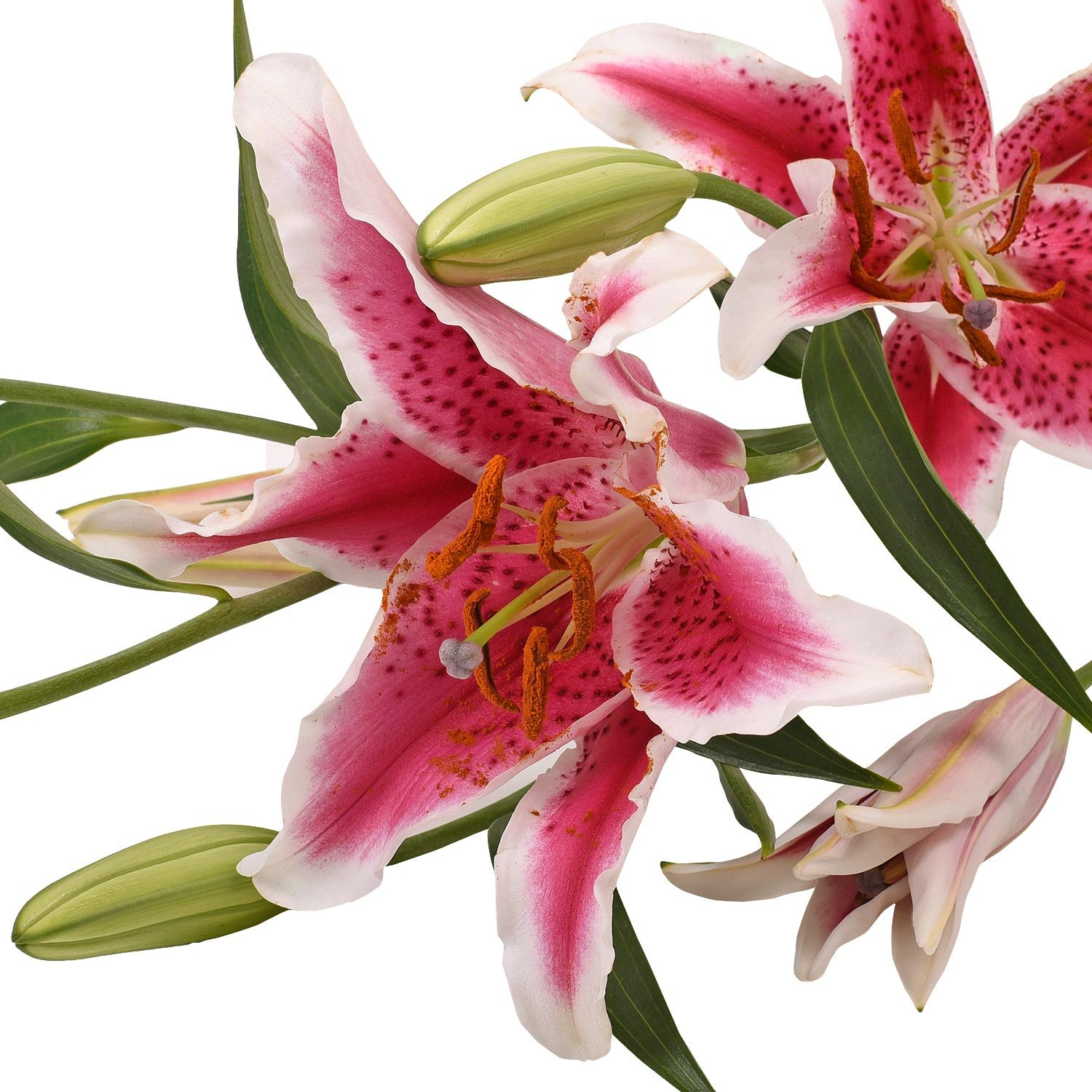 Farm Fresh Natural Hot Pink Oriental Lilies - 40 Stems by Bloomingmore