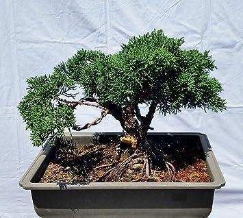 Hot Sale! Shohin Shimpaku 'Kishu' Juniper Bonsai Tree