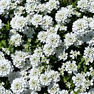 Candytuft Iberis Flower Garden Seeds - Dwarf Fairy Mixture - 4 Oz - Annual Flower Gardening Seeds - Iberis umbellata