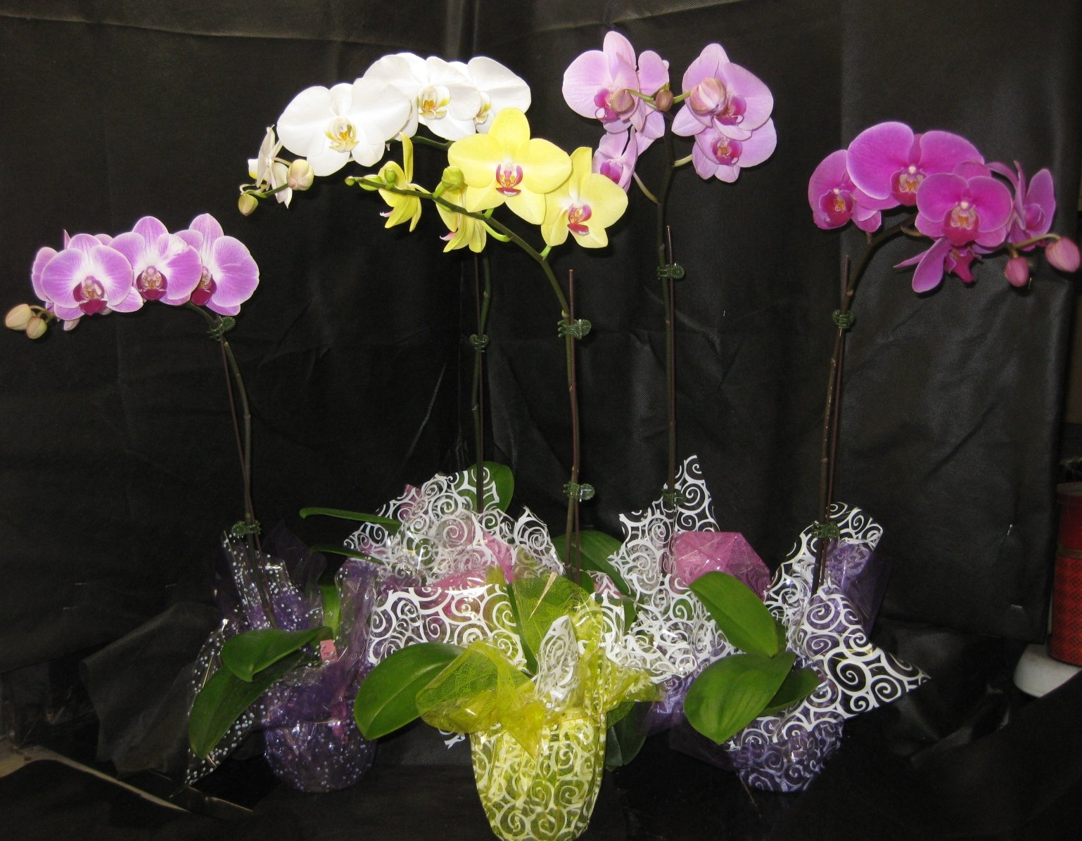 5 Blooming / Budded FLOWERING Phalaenopsis Orchid PLANTS-ADDS ELEGANT & STYLISH DECOR- Perfect Gift for any occasion
