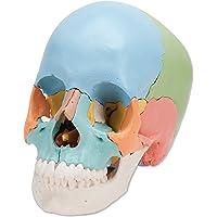 3B Scientific A291 Modelo de Anatomía Humana Cráneo