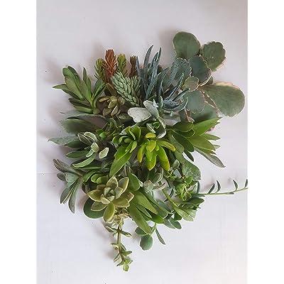 Cuttings of Tender Succuelents 5 Dozen Live Cuttings Live Sempervivum Live Sedum Live Plants Indoor Plants Outdoor Plants 60 Clippings : Garden & Outdoor