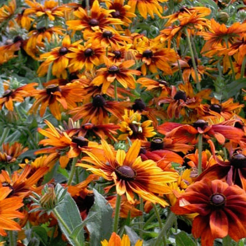 Cappuccino RUDBECKIA 30 Seeds A Beautiful Color Combo