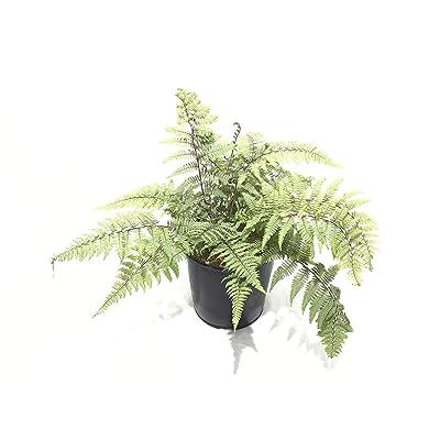 Ghost Fern - Fern -Ghost - 19cm: Garden & Outdoor