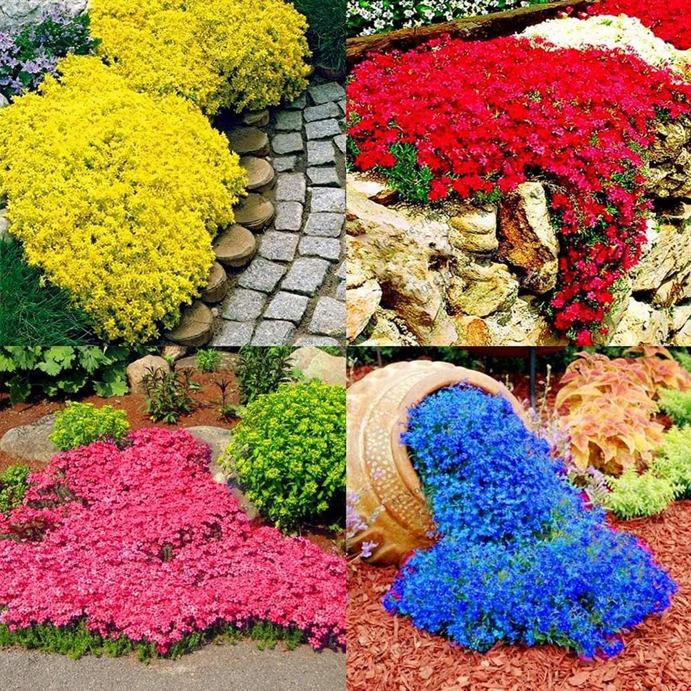 Blue 10pcs Rock Cress Seeds XKSIKjians Garden 10//20Pcs Rock Cress Seeds Ornamental Plant Home Yard Office Decor Non-GMO Seeds Open Pollinated Seeds for Planting