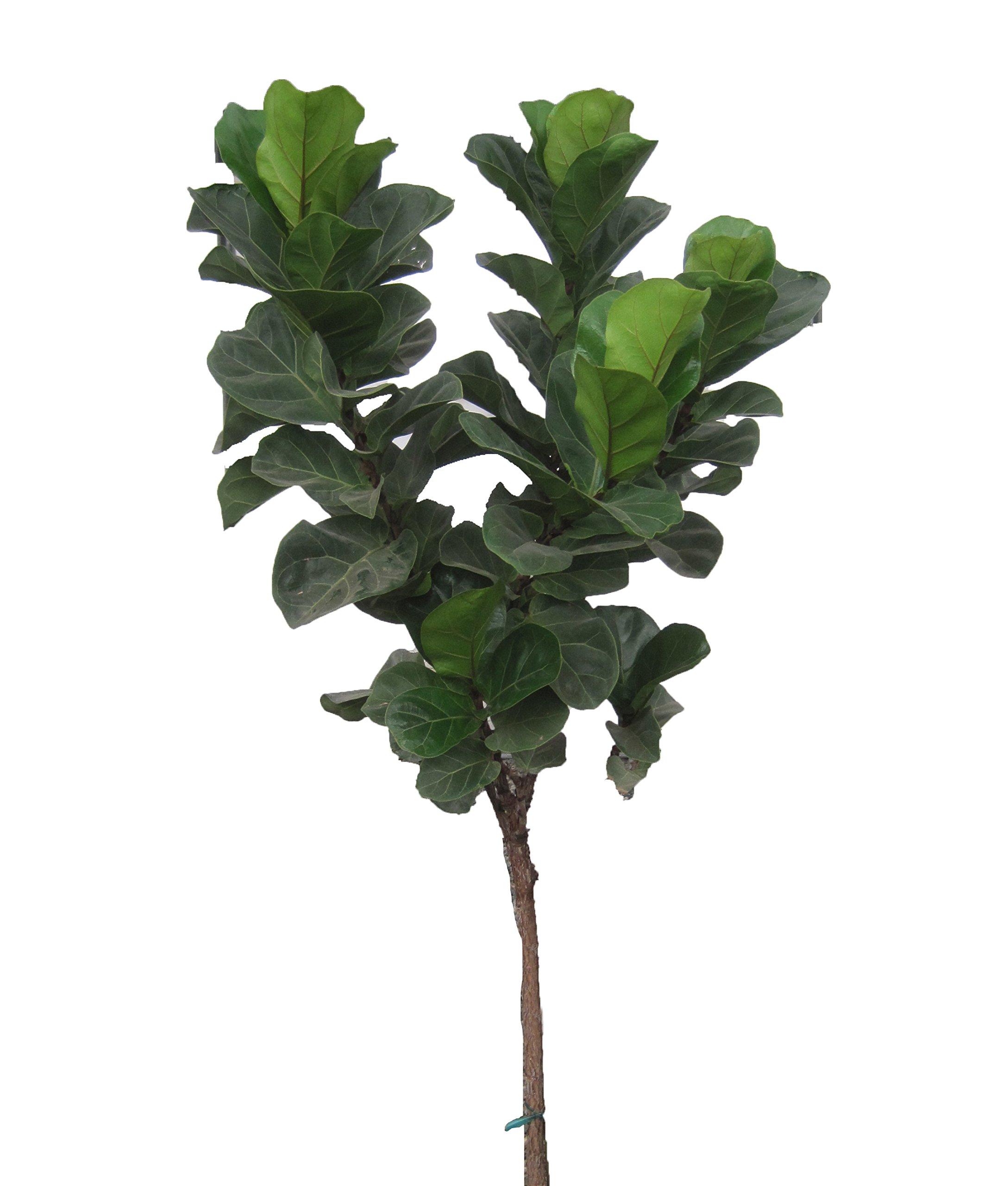Little Fiddle Fig Standard (Ficus lyrata), 3-4' Tall