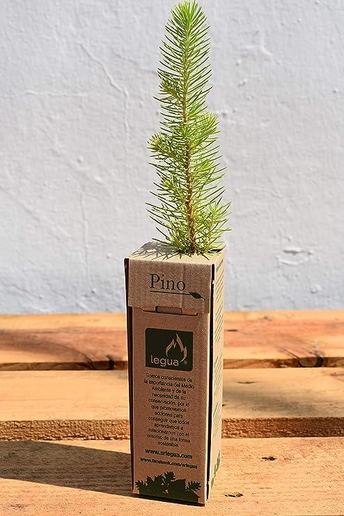 ARBOLITO (6 arbolitos de Pino): Amazon.es: Jardín