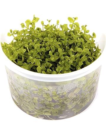 Tropica Micranthemum Monte Carlo 1 – 2-grow flotante frogbit Tissue Culture in vitro planta