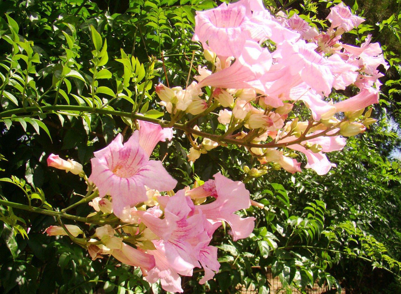 Queen of sheba or pink trumpet vine podraena ricasoliana flowering queen of sheba or pink trumpet vine podraena ricasoliana flowering climber shrub plant masses of large mightylinksfo