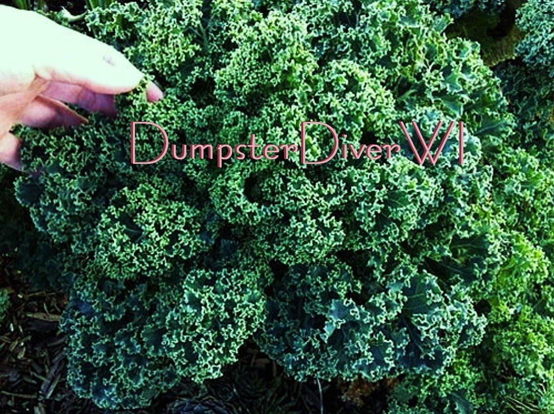 Las semillas enana azul Crespo Kale 100 + Vitamina Orgánica para ...