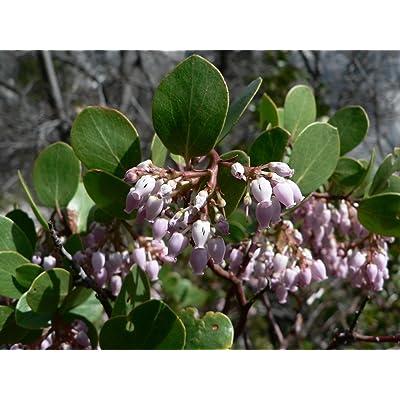 Arctostaphyllos patula MANZANITA Exotic SEEDS! : Garden & Outdoor