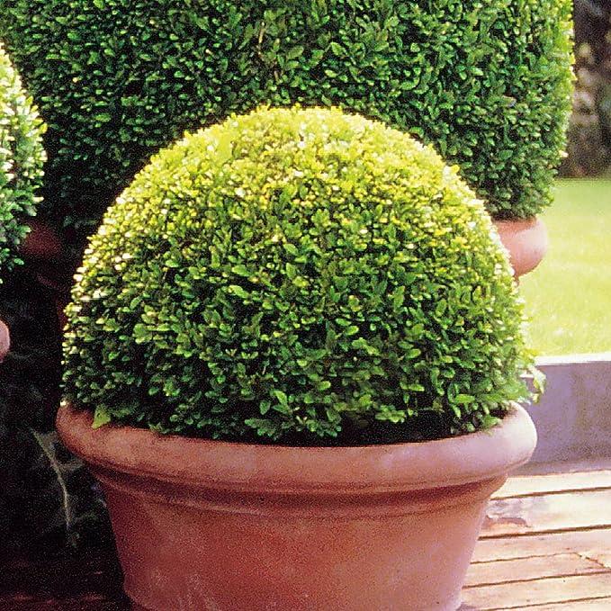 Buxus sempervirens/Buis 25cm - 1 arbrisseau