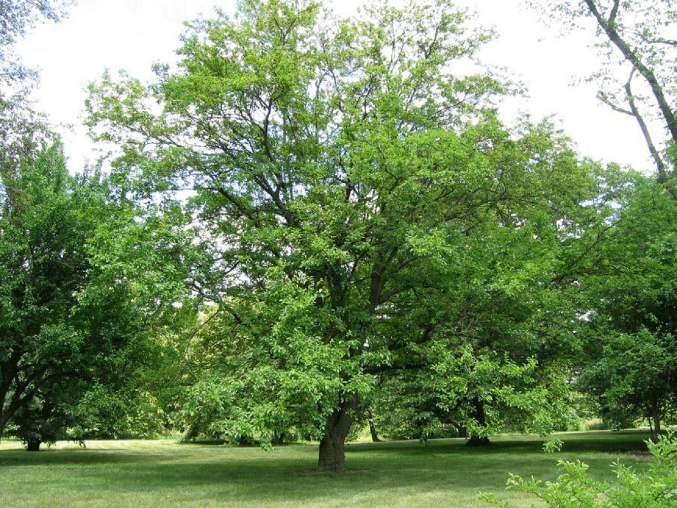 3 Bare Root Plants White Mulberry Tree Edible Berry Fruit Live Healthy 12-18'' Tall V2 by Iniloplant (Image #3)