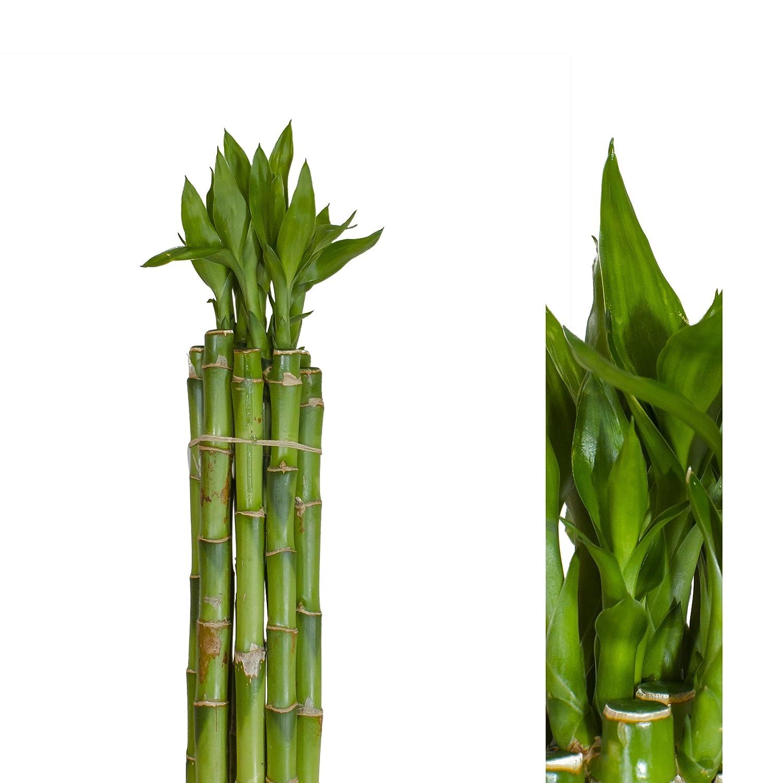 gerade 10 st/ück lucky bamboo Gl/ücksbambus 90cm lang //-