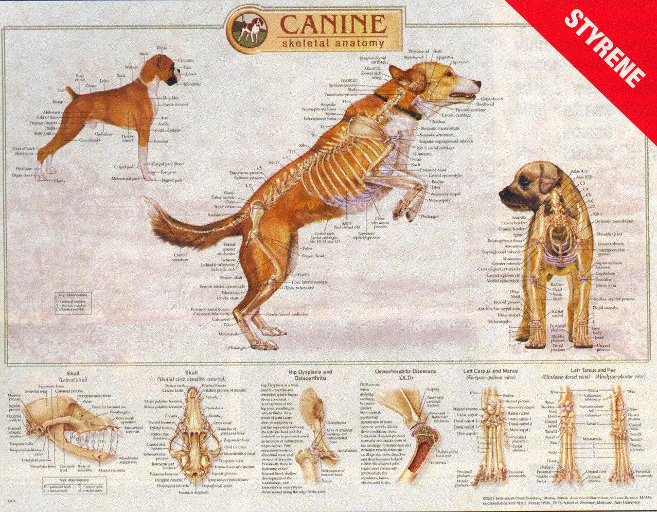 Canine Skeletal System Laminated Wall Chart K9 Dog