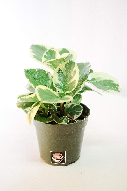 Safe Plants Peperomia Obtusifolia
