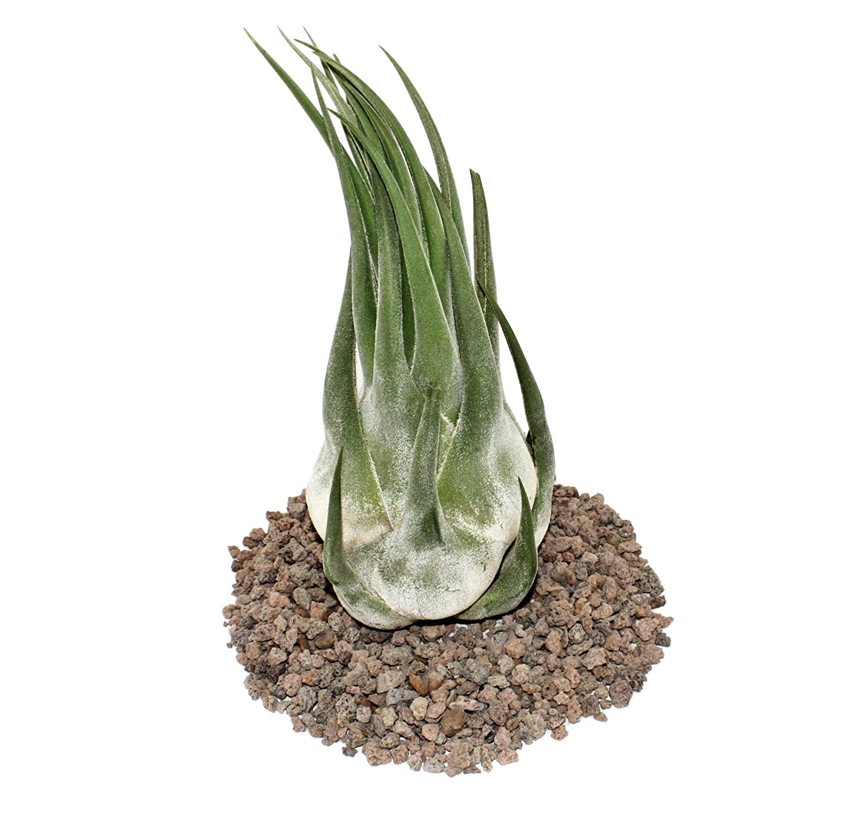 /extra large Tillandsia Seleriana/ /Loose Plant/