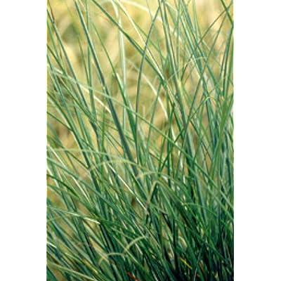 Miscanthus sinensis Adagio MAIDEN GRASS Seeds! : Garden & Outdoor