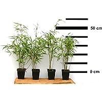 Bambus Fargesia rufa winterhart, immergrün und schnell-wachsend, 30/40 cm hoch, im Topf