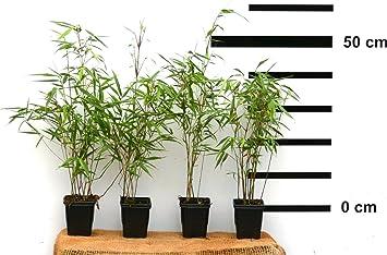 4 Stk Bambus Fargesia Rufa Winterhart Immergrun Und Schnell