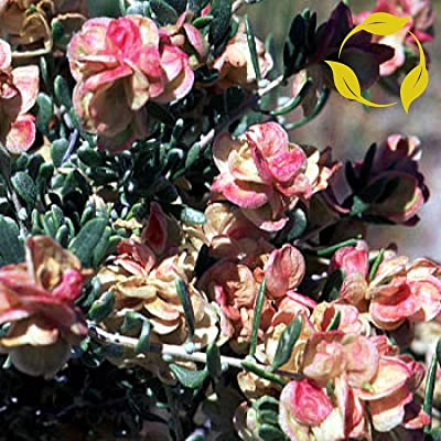 Four-Wing Saltbush Atriplex Canescens 25 Seeds : Garden & Outdoor