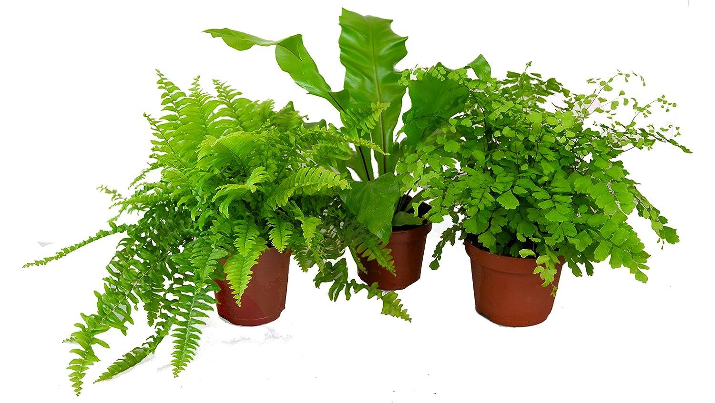 Indoor Fern Houseplant Set - Asplenium, Adiantum & Nephrolepsis Ferns - 3 x 12cm Pots (Live Plants) Longacres