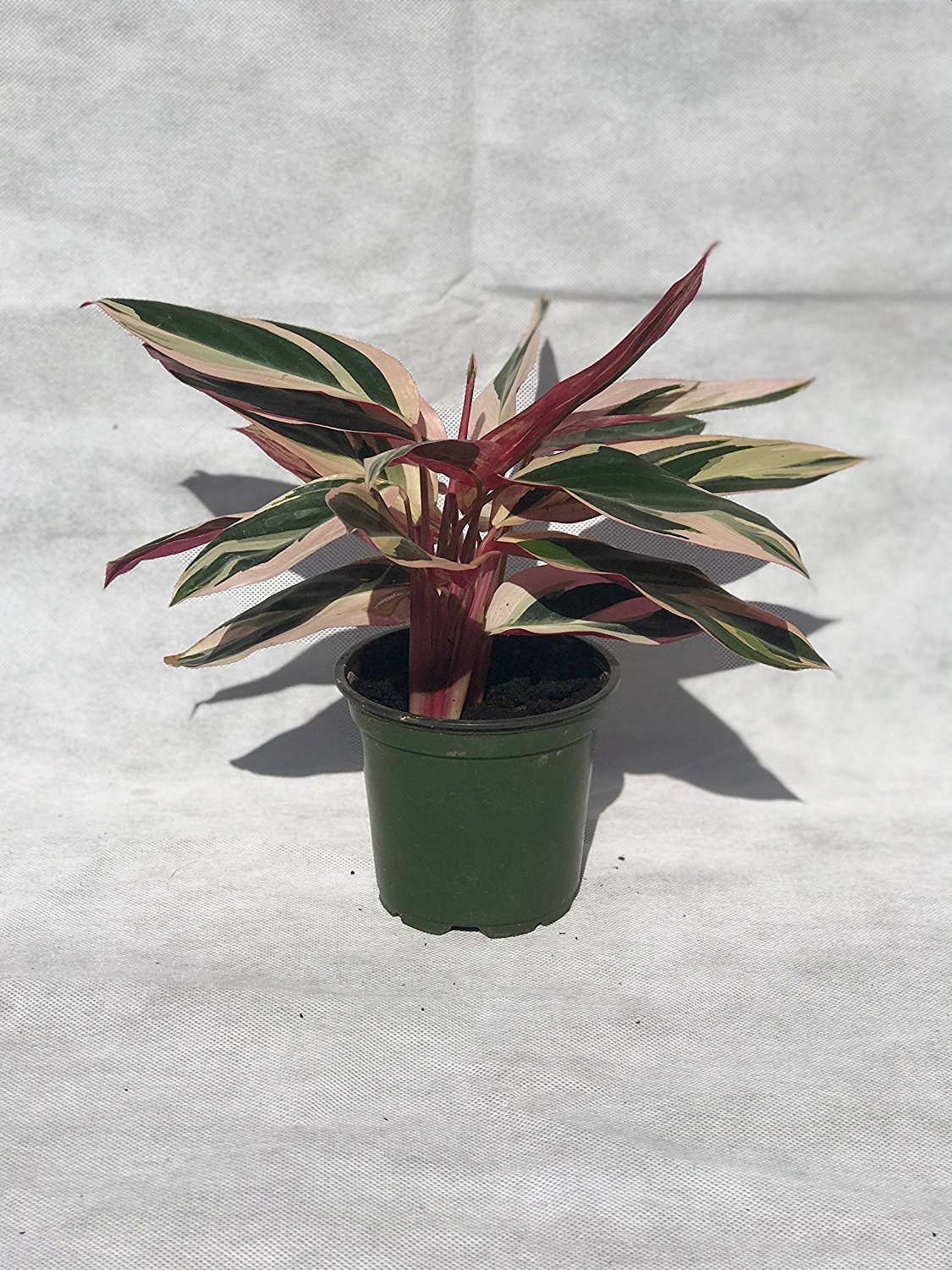 Collection of the Nine Best Clean Air Plants for your Home or Office - Florist Quality - Live Plants by Florida Foliage (Image #5)