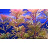 5 x RED CABOMBA Live tropical aquarium plant pink fern for fish tank cabomba piahyensis