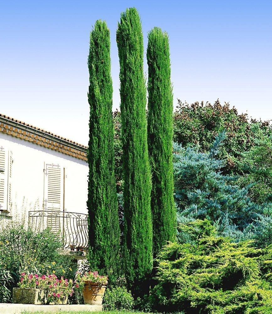 BALDUR-Garten Echte Toskana Säulen-Zypressen 1 Pflanze Cupressus sempervirens pyramidalis Mittelmeer-Zypresse winterhart