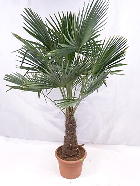 Trachycarpus fortunei Hanfpalme winterharte Palme Höhe 140-160cm Stamm 30-40cm