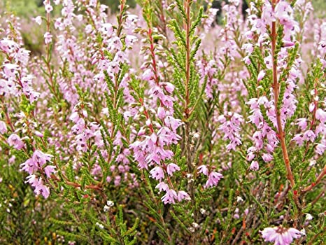 Calluna Vulgaris amazon com scotch plants calluna vulgaris garden outdoor