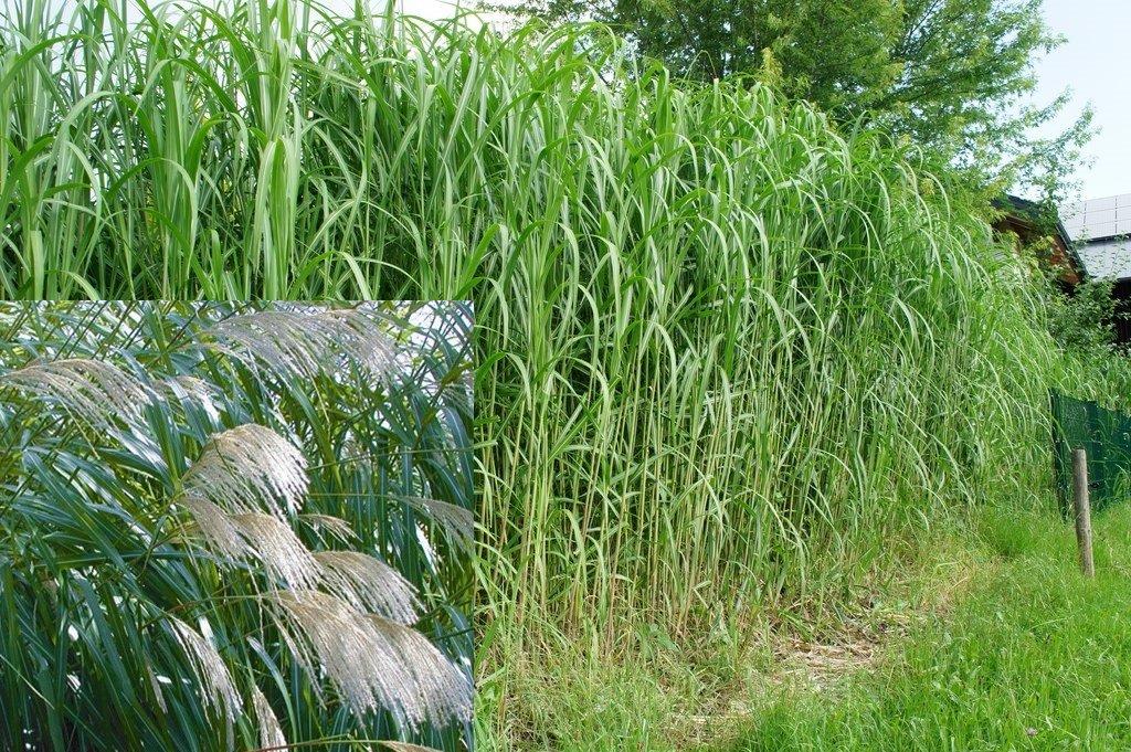 Riesenchinaschilf Miscanthus Giganteus Elefantengras 5 Rhizome Bambus Gras