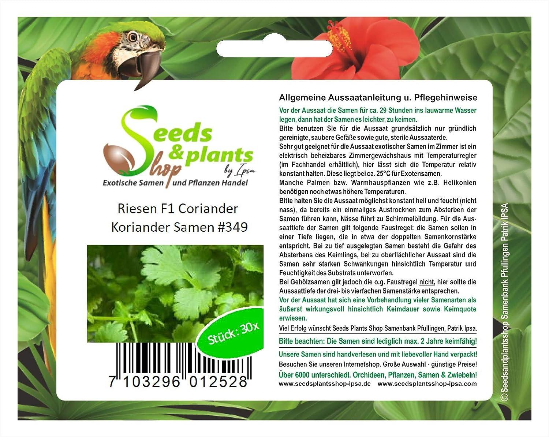 30 gigante F1 cilantro coriandro semilla especias hierbas huerto ...