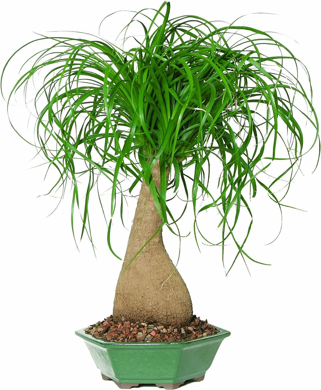 Amazon Com Brussel S Ponytail Palm Bonsai Plant Germination Kits Garden Outdoor