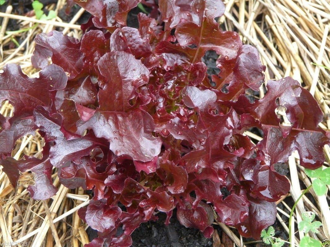 Ensalada Bowl (rubí) de la hoja de la lechuga, orgánico no GMO ...