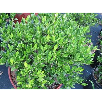 from Grandiosy Farm: Yaupon Holly (Schillings), Ten Plants, Ready to Ship : Garden & Outdoor