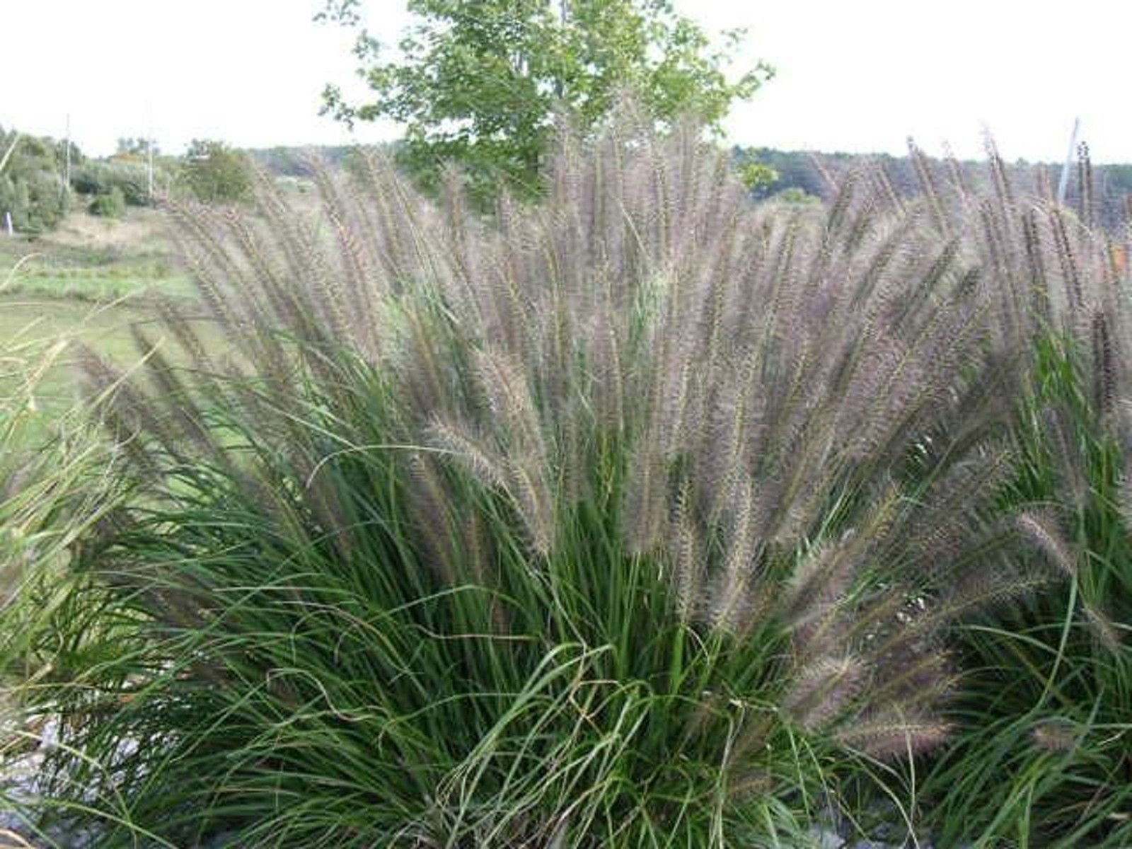 FOUNTAIN GRASS DIVISIONS Pennisetum alopecuroides LOT 4
