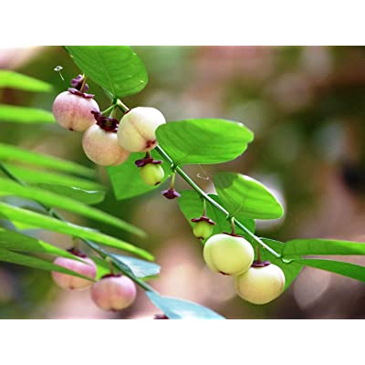 10 Seeds Katuk Plant- Sauropus Androgynus - Tropical Plant-Star Gooseberry- Sweet Leaf Plant Seed Sale : Garden & Outdoor